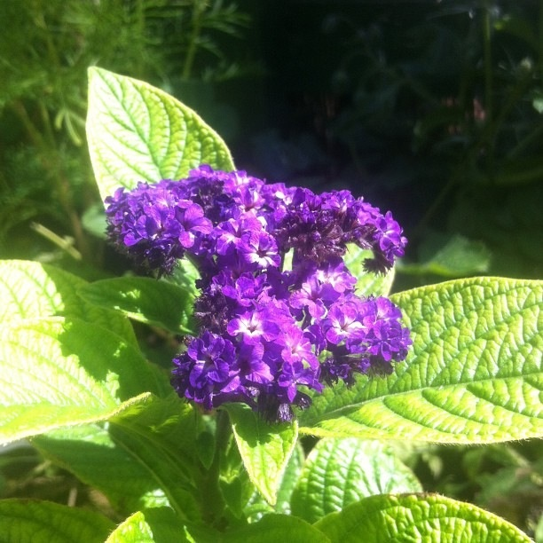 Heliotrope marine in bloom