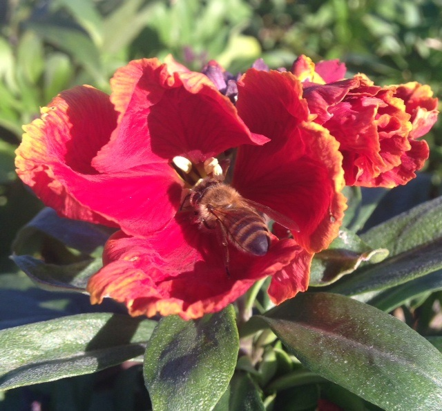 Honey bee feeds upon wallflower