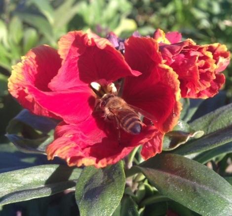 Honey bee feeds upon wallflower