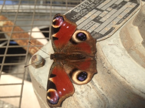 Peacock butterfly rests on greenhouse fan