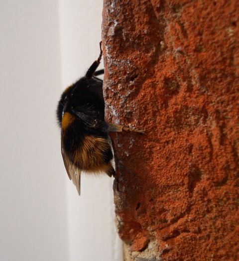The queen bumblebee - a Bombus terrestris or buff-tailed bumblebee