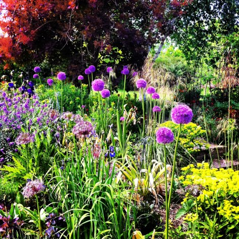 Right hand side of the garden - After, alliums in summer