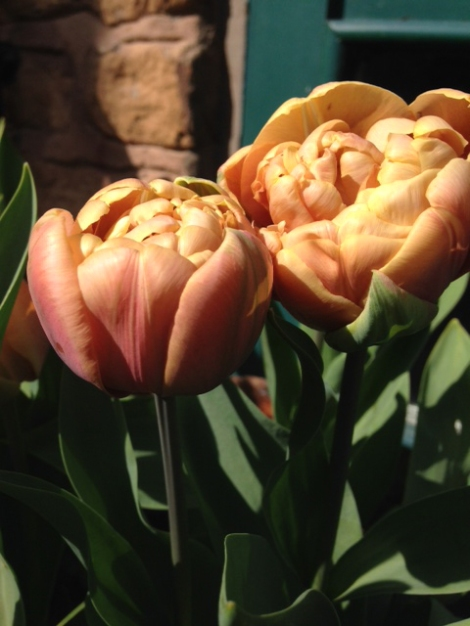 Belle Epoque Tulips