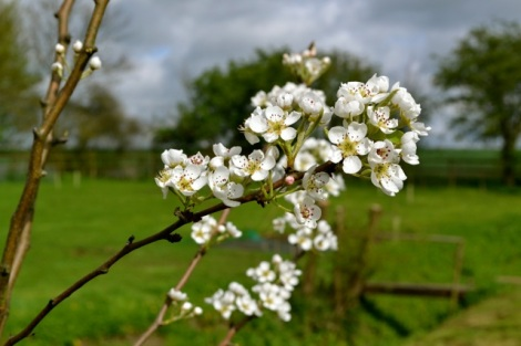 Pear blossom with wildflower patch behind