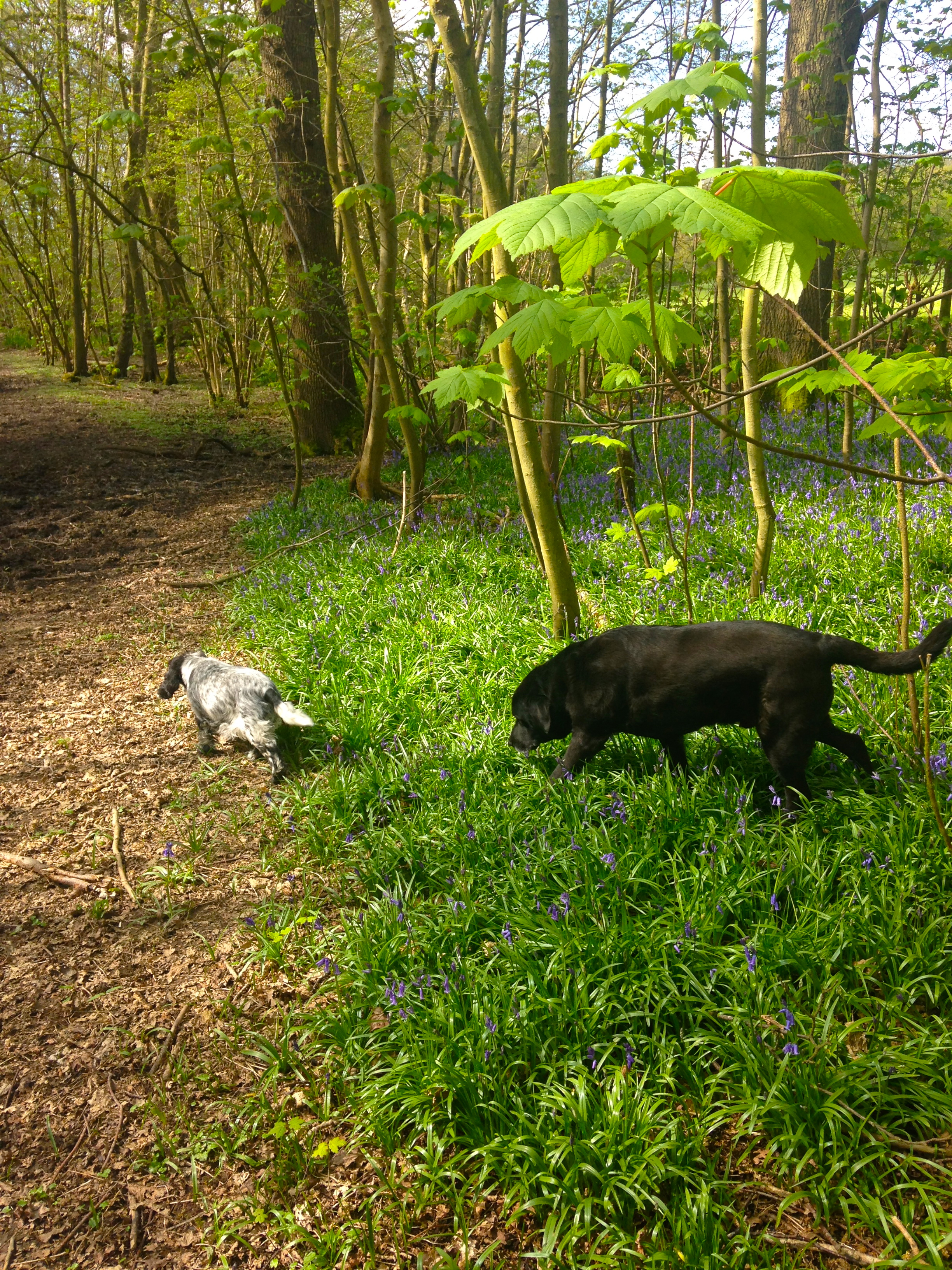 Dogs in the Bluebell Wood