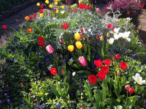 Mixed Tulips in my grandmothers garden