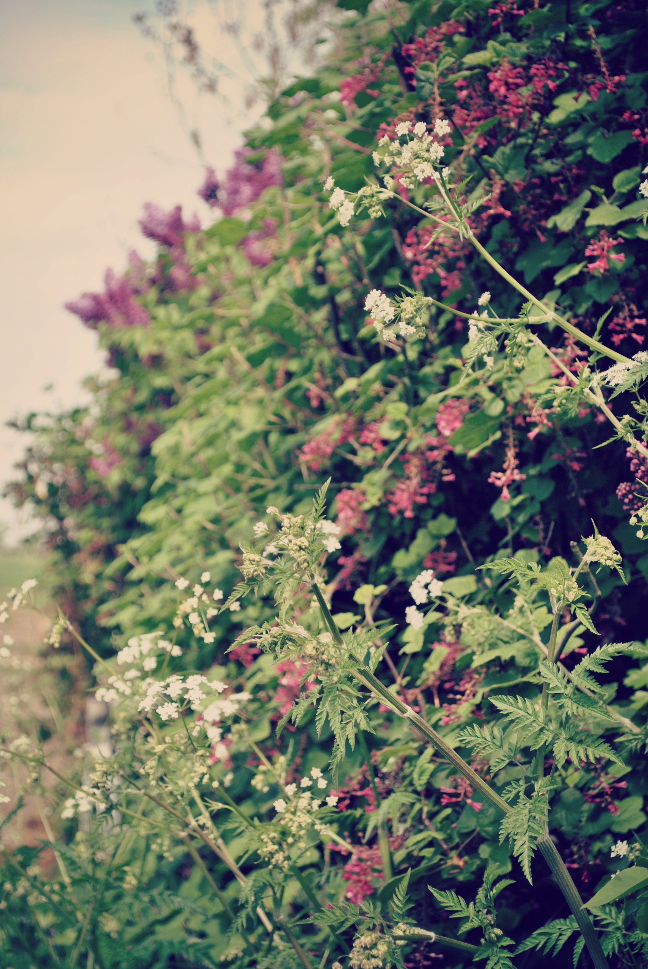 English Hedgerows