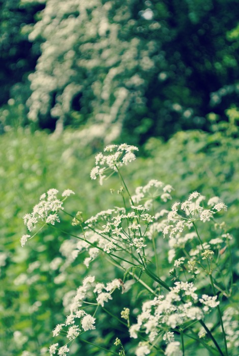 White Cow Parsley