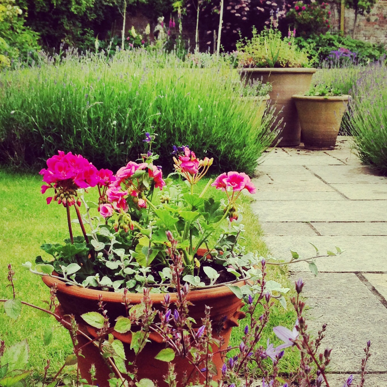If the warm spring means all  the flowers are over by the end of June, pelargoniums in pots will save the day.